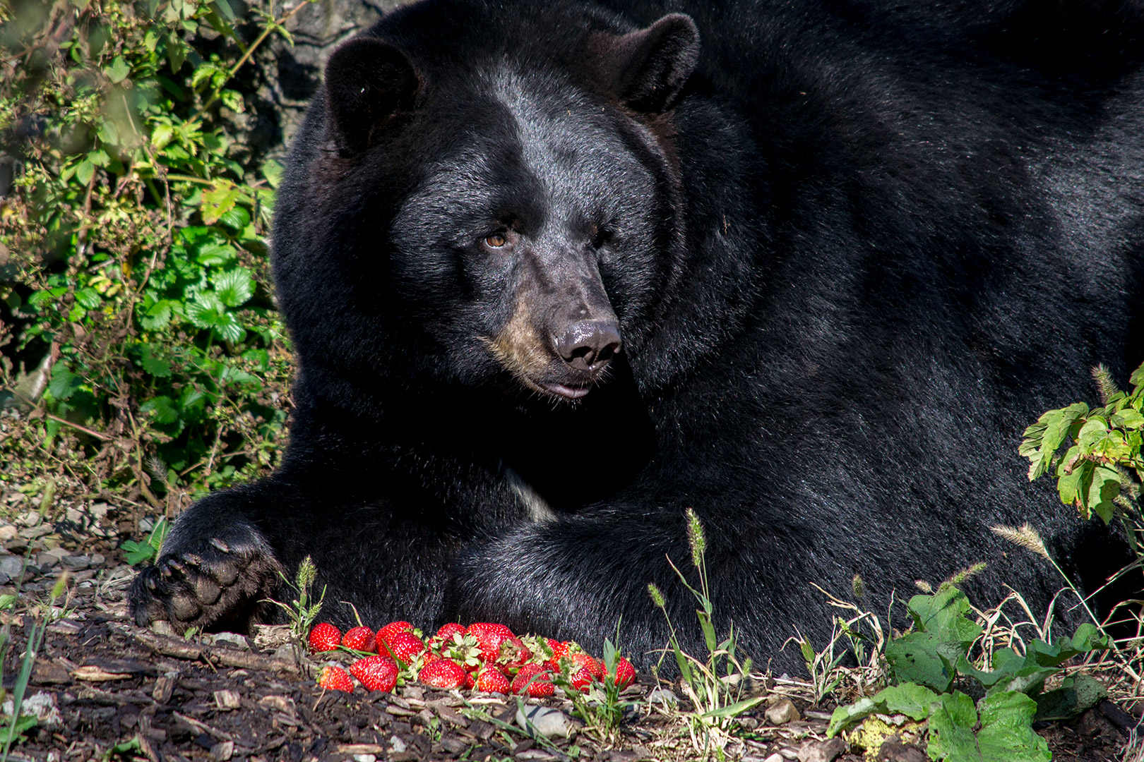 black bear eating strawberries