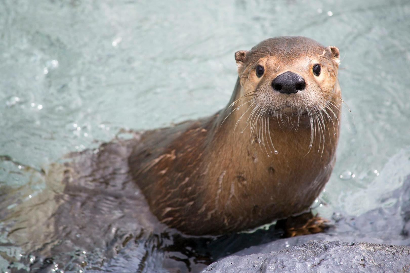 Loutre De Riviere Zoo Ecomuseum