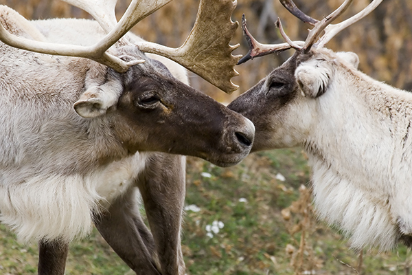two Woodland caribous
