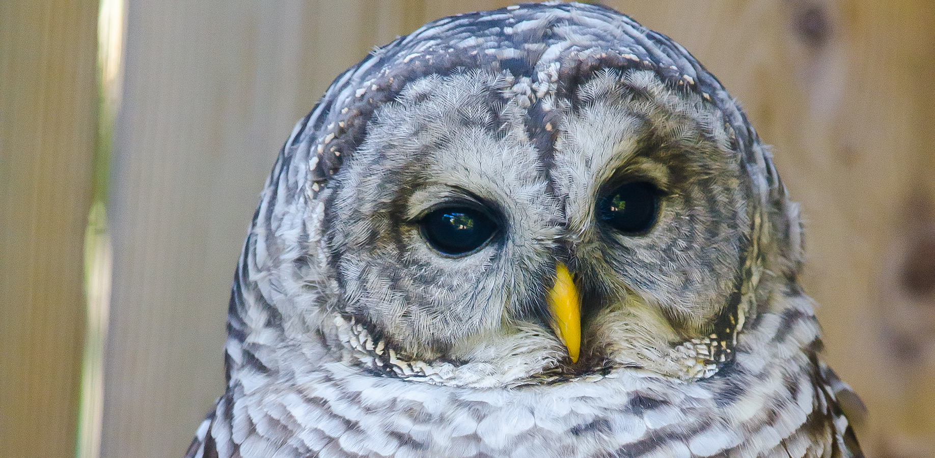 close-up of the Barred Owl