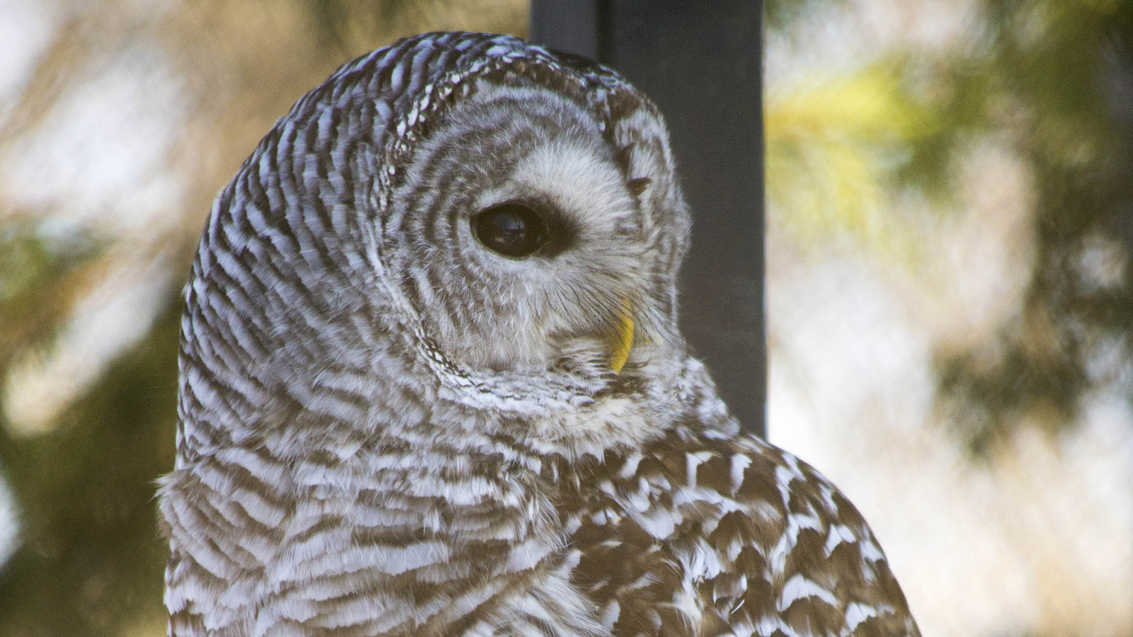 side profile of the Barred owl