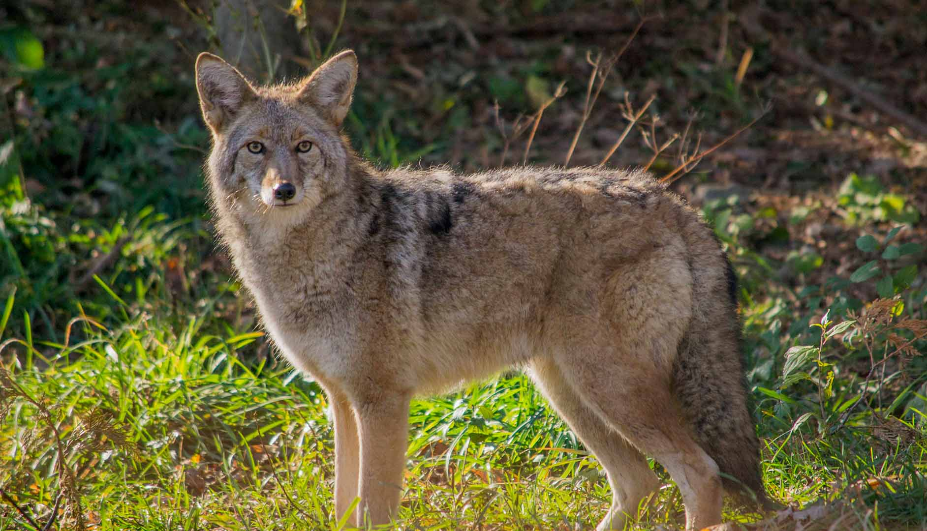 Coyote - appearance