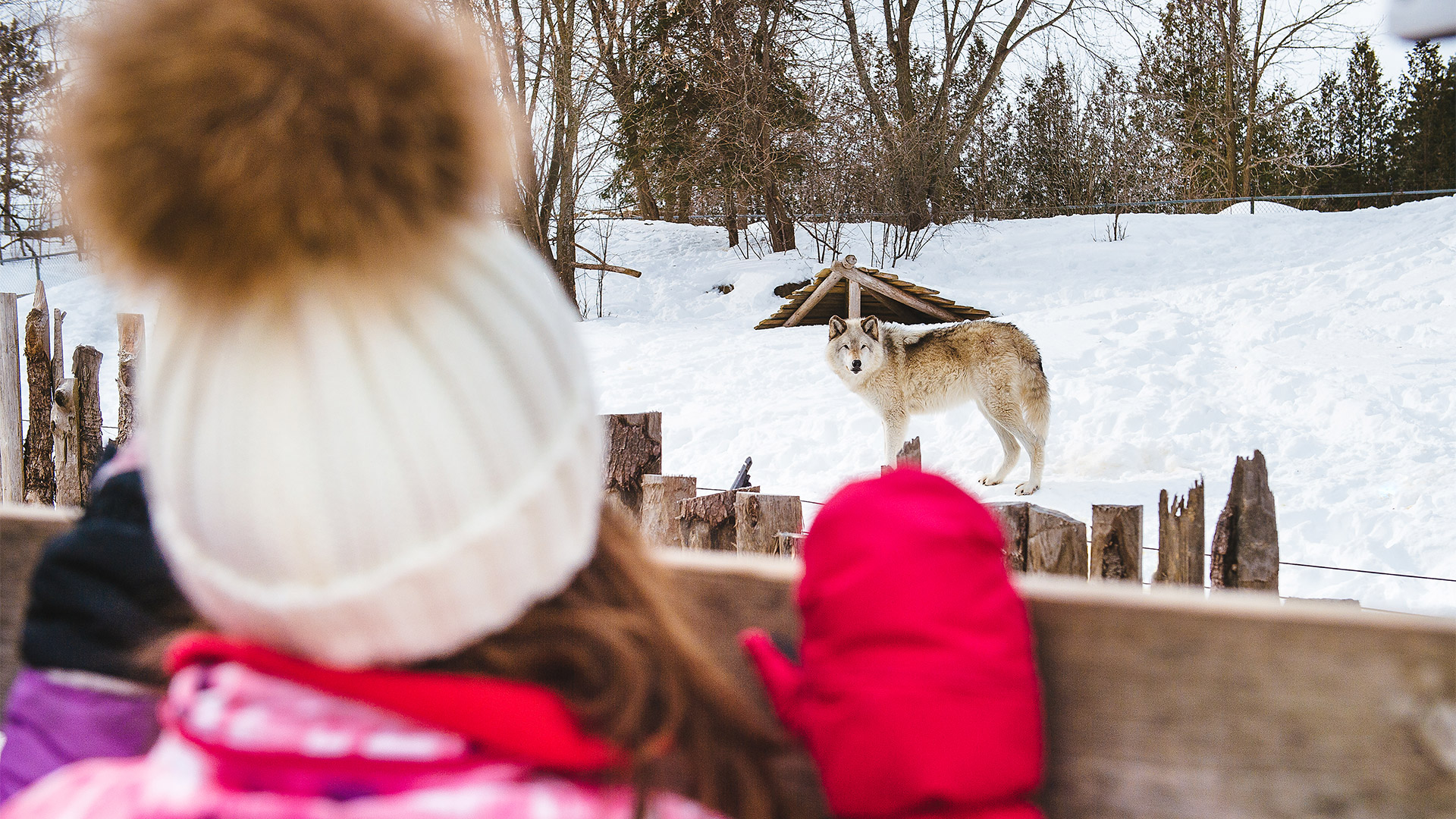 little girl looking at a wolf at the Ecomuseum Zoo