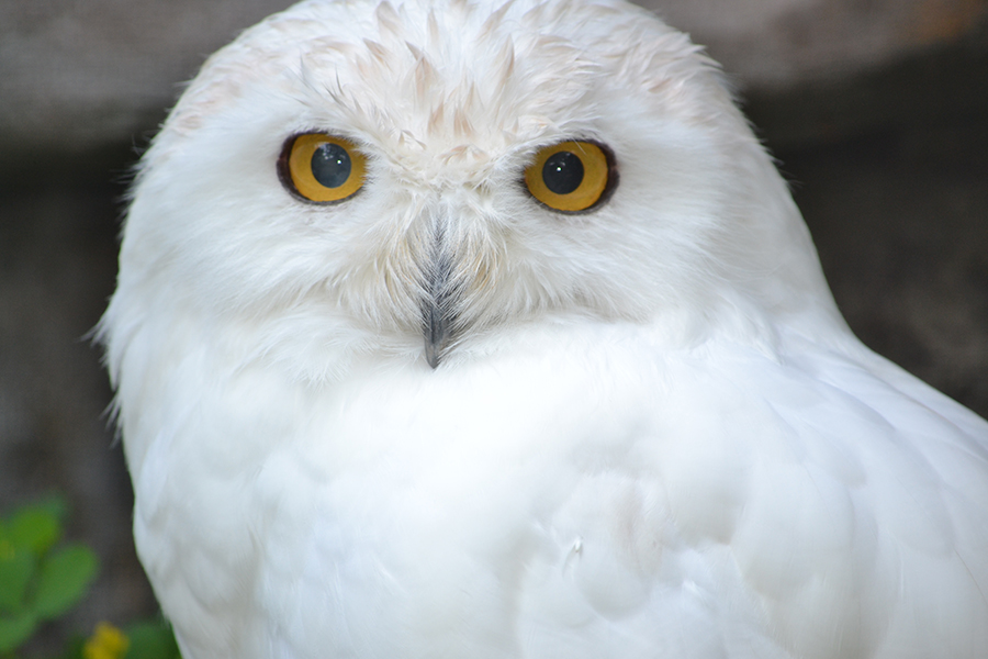 close up on snowy owl