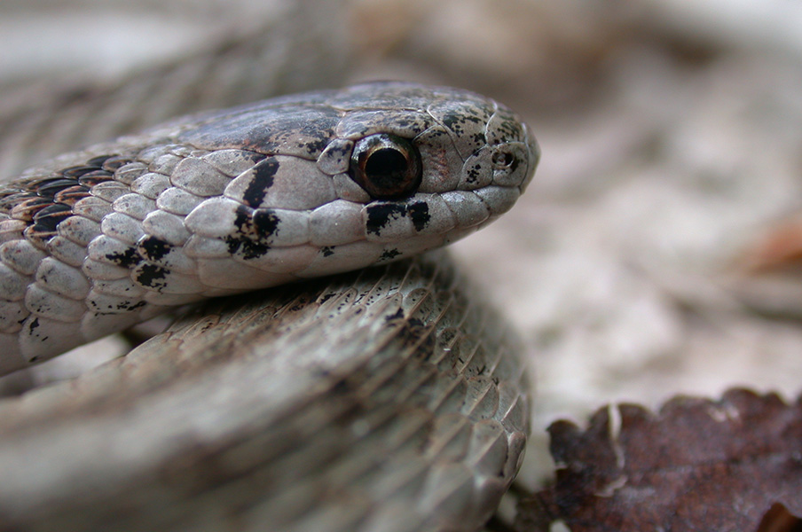 close up on a brown snake's head