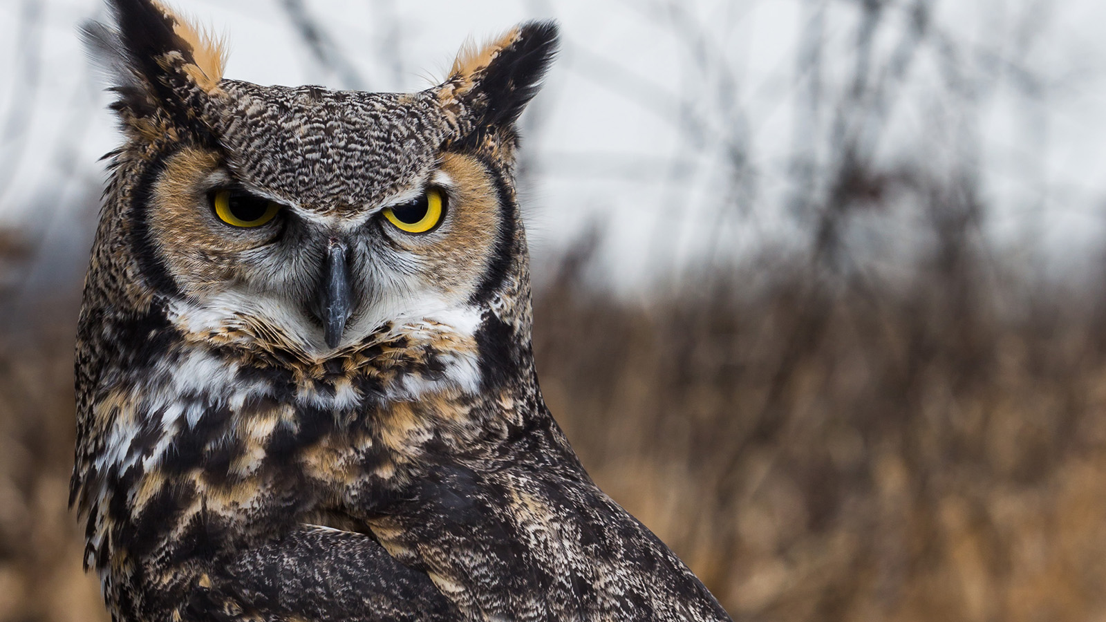 Great-horned owl with attitude