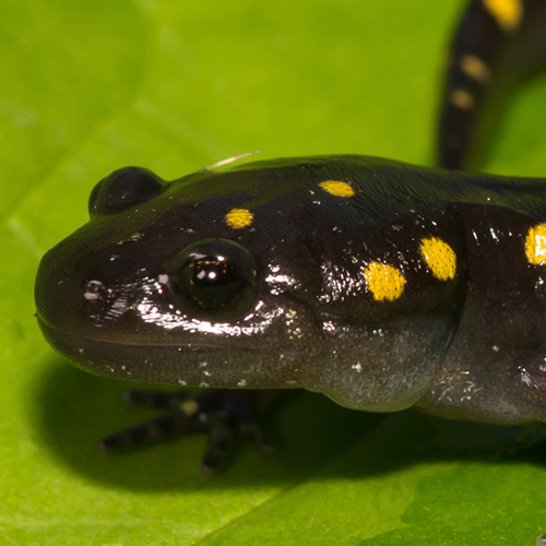 close up on a yellow spotted salamander