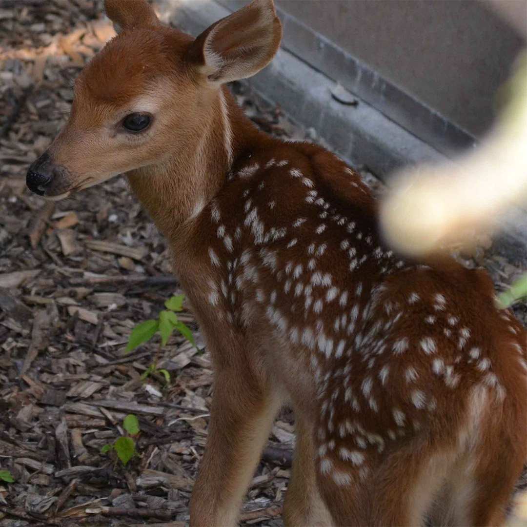 Moki the White-tailed Deer upon his arrival at the Ecomuseum Zoo