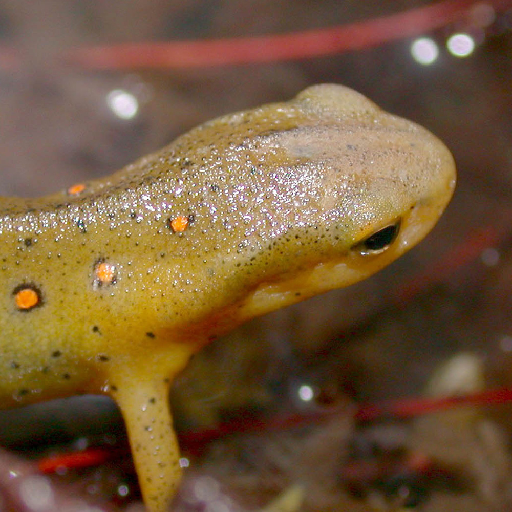 Red-spotted newt - portrait