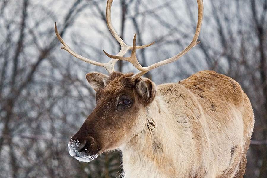woodland caribou in the forest