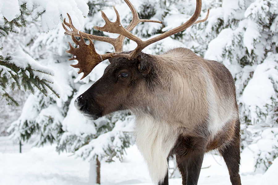 woodland caribou in a snow-covered forest